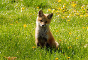 summer-nature-week-fox-debra-lahm-300x205